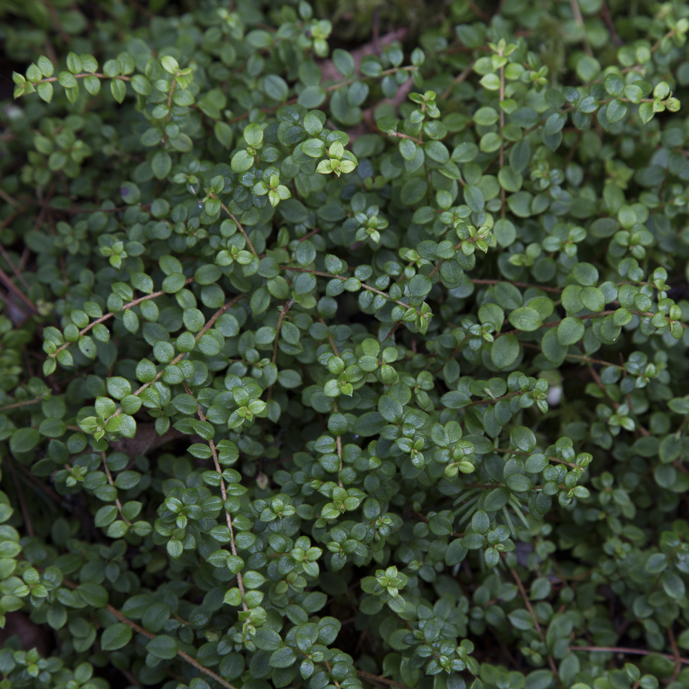 Creeping Snowberry