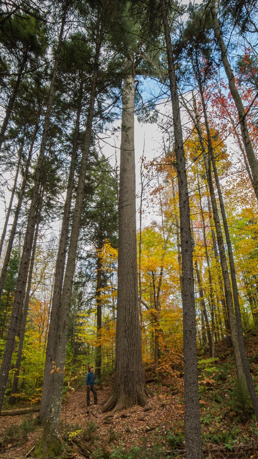 The Wanakena Pine