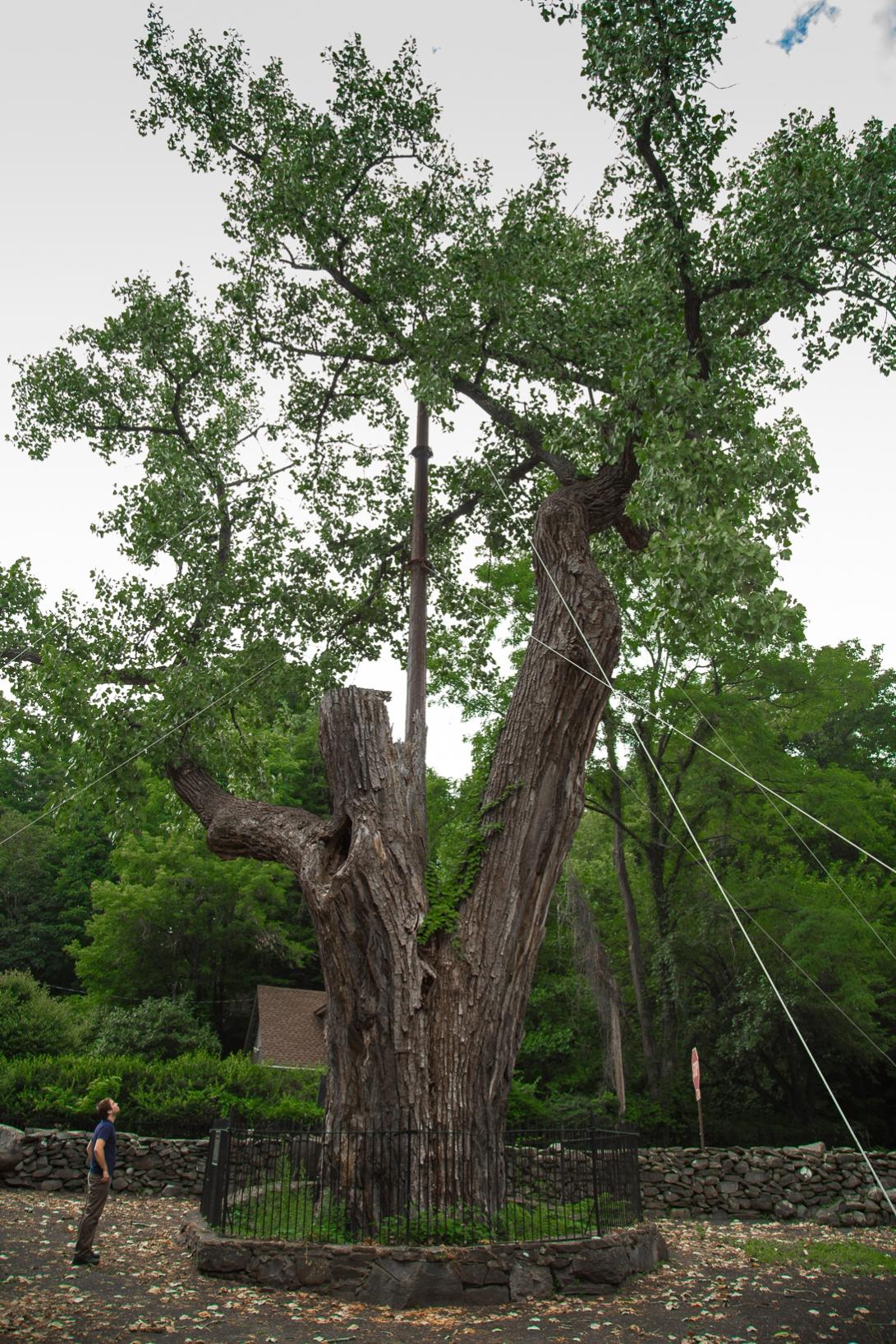 The Balmville Tree