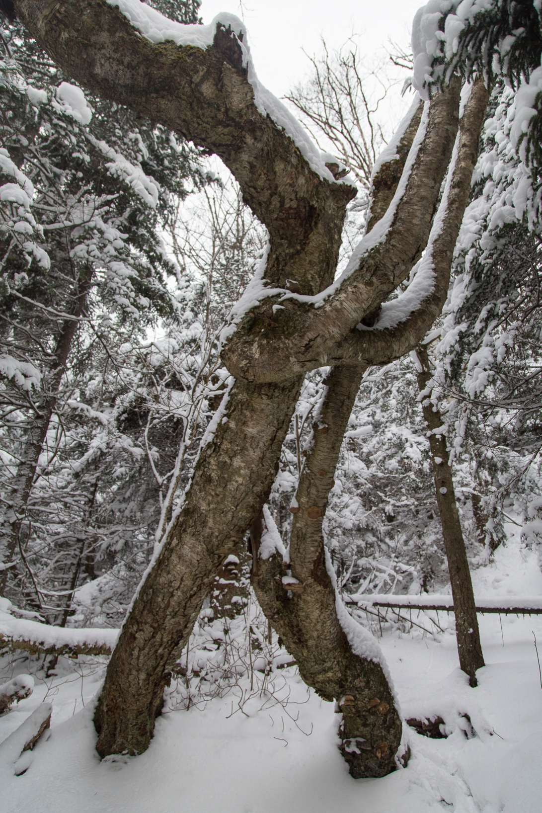 The McKenzie Mountain Yellow Birch