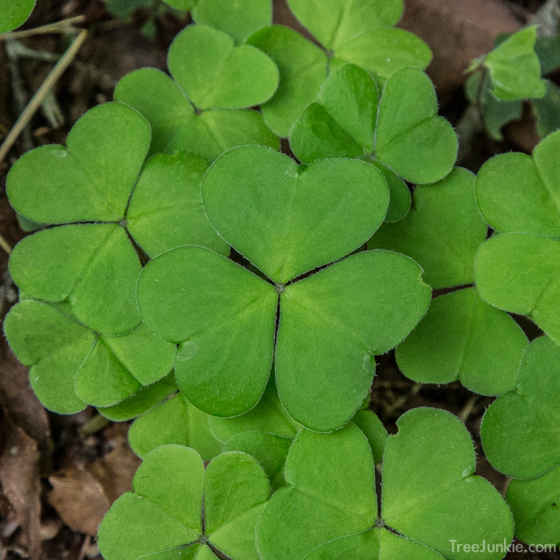 Common Wood Sorrel