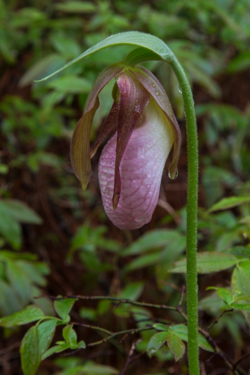 Pink Lady's Slipper in Rain