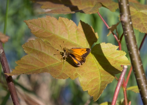 Sunbathing Skipper