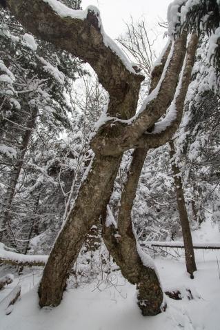 Twisted Birches