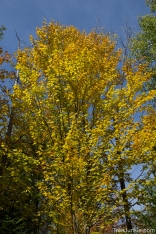 Yellow Yellow Birch