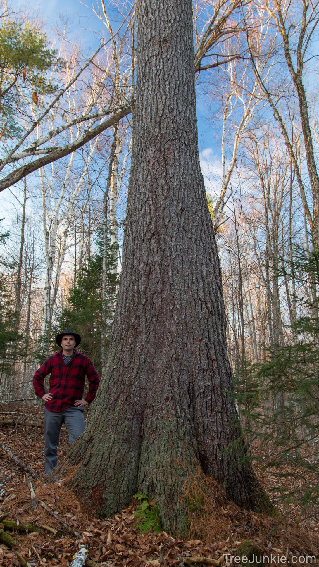 The Bulbous Pine 1