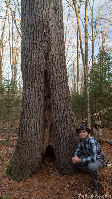 The Bulbous Pine 3