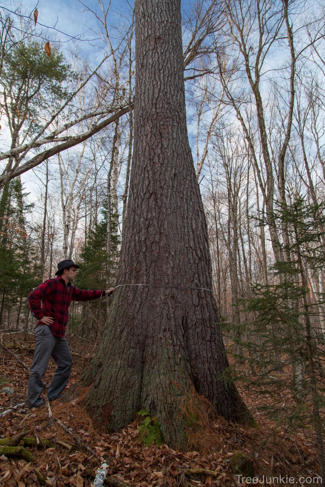 The Bulbous Pine 4