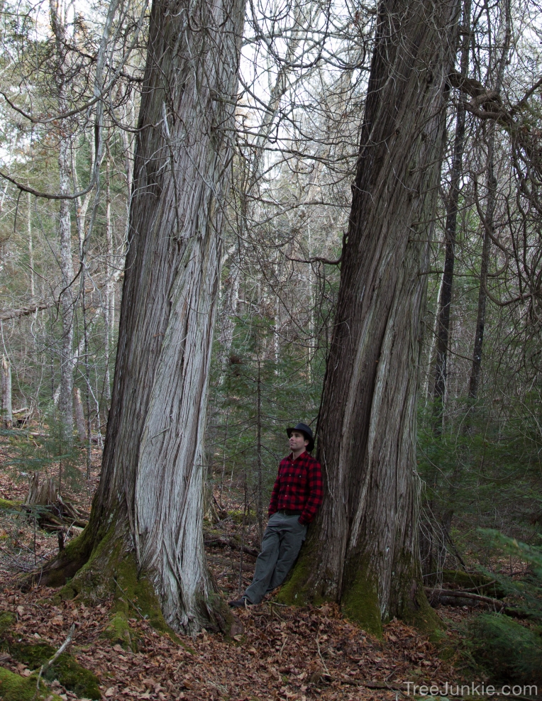 Two Giant Cedars