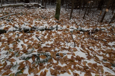 Beech Leaves on Snow